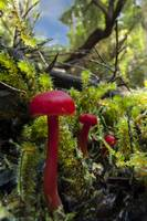 Tiny red mushroom amongst moss in a forest