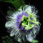 """Passiflora Cyanea"" by joeyartist"