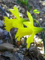 Spring Yellow Daffodil Flowers