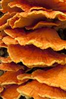 Beautiful orange fungus Laetiporus conifericola Su