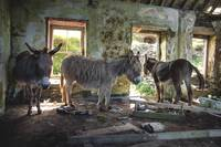 Donkeys of Blasket