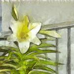 """""""White Lily"""" by artbyclaire"""