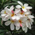 """Hawaiian Plumeria"" by joeyartist"