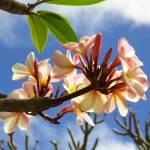 """""""Hawaiian Plumeria"""" by joeyartist"""
