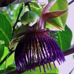 """Passiflora Laurifolia"" by joeyartist"