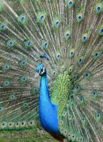 Peacock vertical portrait
