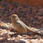 """Canyon Towhee IMG_6691"" by rayjacque"