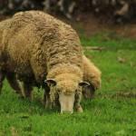 """""""Sheep"""" by rhamm"""