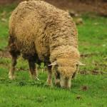 """""""Sheep Grazing"""" by rhamm"""