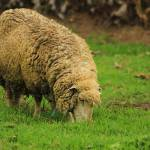 """""""Sheep on a Farm"""" by rhamm"""
