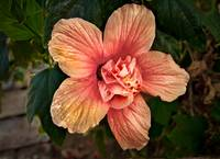 Salmon Color Hibiscus