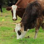 """Cattle Grazing"" by rhamm"