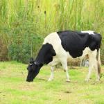 """""""Holstein Cow"""" by rhamm"""