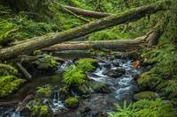 Fallen logs across Goldstream River, Vancouver Isl