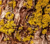 closeup of tree bark with yellow fungi