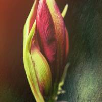 Abstract Rose Art Prints & Posters by Pictorial Decor