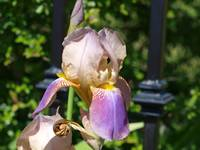 Verigated Iris on Iron Fence