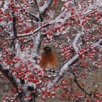 An icy roost Art Prints & Posters by Linda McAlpine