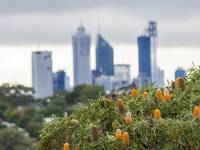 Honeyeater Banksia and Perth City Skyscrapers.