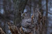 Great Horned Owl Perched by Nest