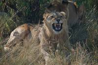 Anger Management Lioness