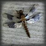 """Female Whitetailed Skimmer Dragonfly Square"" by KsWorldArt"