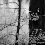 """Forsythia in Spring Black and White"" by KsWorldArt"