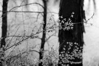 Forsythia in Spring Black and White