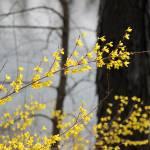 """""""Forsythia in Spring"""" by KsWorldArt"""