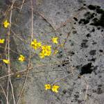 """Forsythia and Rock"" by KsWorldArt"