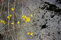 Forsythia and Rock