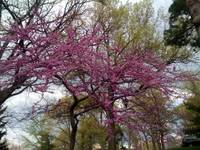 Purple Spring Trees