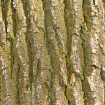 """Cottonwood Tree Bark Texture"" by lightningman"