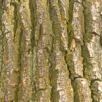 """Tree Bark Texture Vertical"" by lightningman"