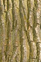Tree Bark Texture Vertical