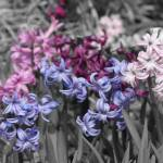 """""""Hyacinths in Black and White"""" by SplitWindow"""