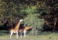 Two Giraffes Eating The Acacia Tree