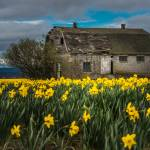 """DaffodilsBrownBarn-0034"" by CaptureLife"