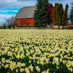 """DaffodilsRedBarn-0062"" by CaptureLife"