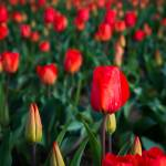 """TulipsRozengaarde-1206"" by CaptureLife"