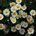 """""""Daisy"""" by rhamm"""