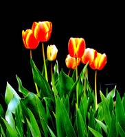 Tulips in the dark
