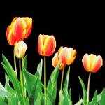 """Yellow and Orange Tulips on black background"" by globetrotter1"