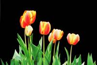 Yellow and Orange Tulips on black background