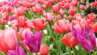 Sea of Spring Tulips