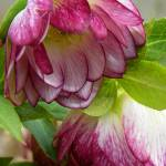 """Hellebores Roses of Winter"" by vpicks"