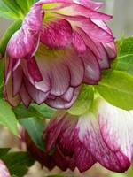 Hellebores Roses of Winter