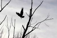 Turkey Vulture Flight Black and White