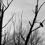 """Turkey Vulture Waiting Black and White"" by KsWorldArt"