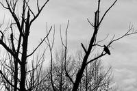 Turkey Vulture Waiting Black and White